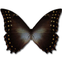 Morpho Amphitrion