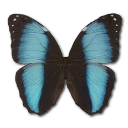 Morpho Patroclus Orestes Male