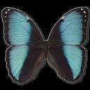 Morpho Pseudogamedes