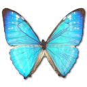 Morpho Zephyritis Male