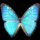Morpho Zephyritis Male