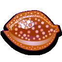 Cypraea cervus